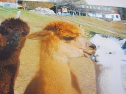 Neugierige Alpakas