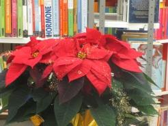 ein grandios schöner Weihnachtsstern!