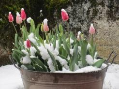 Schneegestöber - die Tulpen halten es aus!