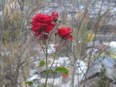 Allerheiligen Rose